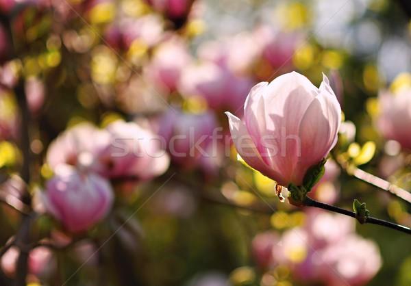 Manolya çiçek çiçek güzel bulanık renkli Stok fotoğraf © ondrej83