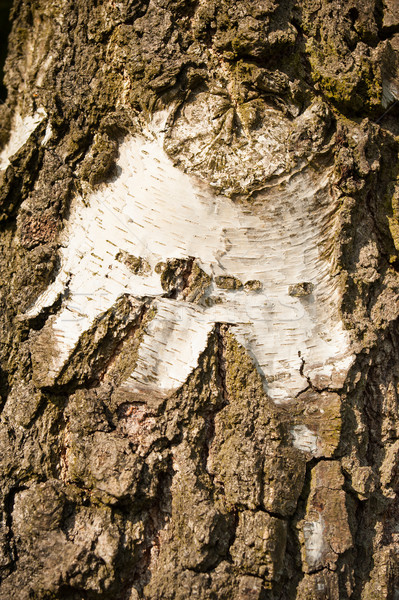 Birch bark Stock photo © ondrej83