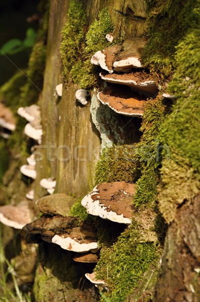 Polypore with a green moss Stock photo © ondrej83