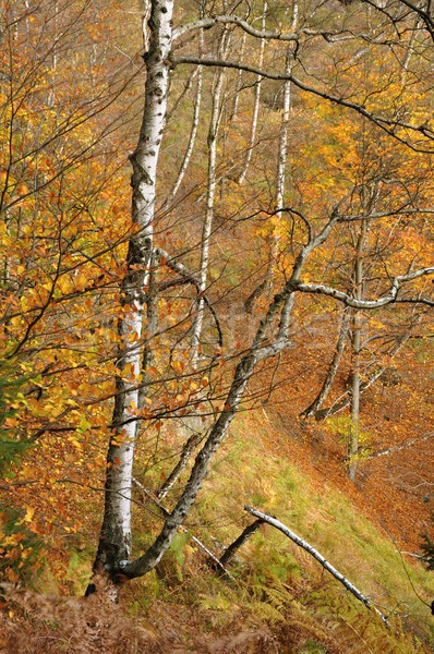 Autumn forest Stock photo © ondrej83