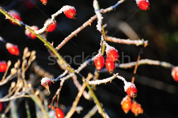 Red frozen rosehip Stock photo © ondrej83
