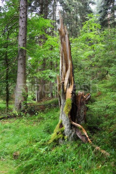 Starych podziale drzewo mech lesie Zdjęcia stock © ondrej83
