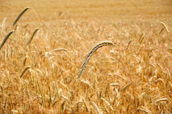 Kornfeld golden Mais Bereich reifen Sommer Stock foto © ondrej83