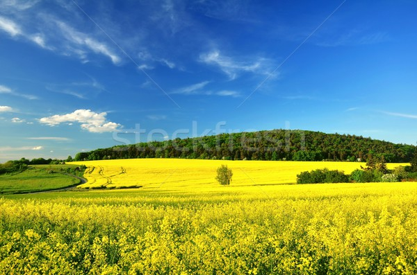 Stock photo: Flowering rape field