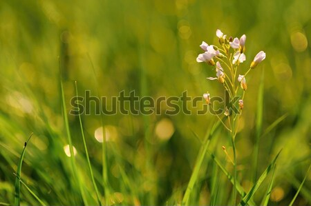 草原 花 緑 太陽 草 ストックフォト © ondrej83