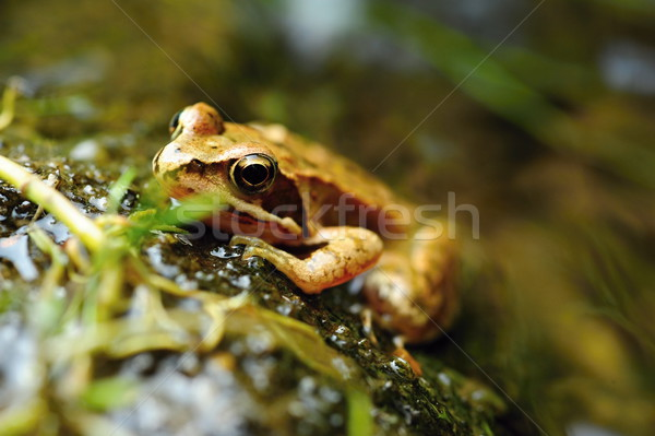Stock photo: Small brown frog