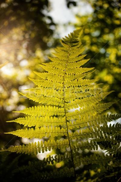 папоротник лес красивой зеленый после полудня солнце Сток-фото © ondrej83