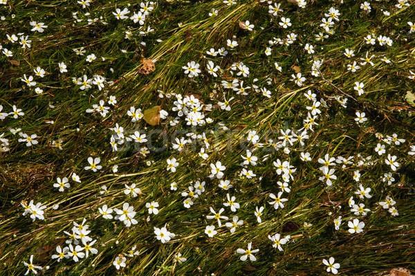 цветы реке большой числа белые цветы цветок Сток-фото © ondrej83