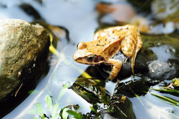 Small brown frog Stock photo © ondrej83