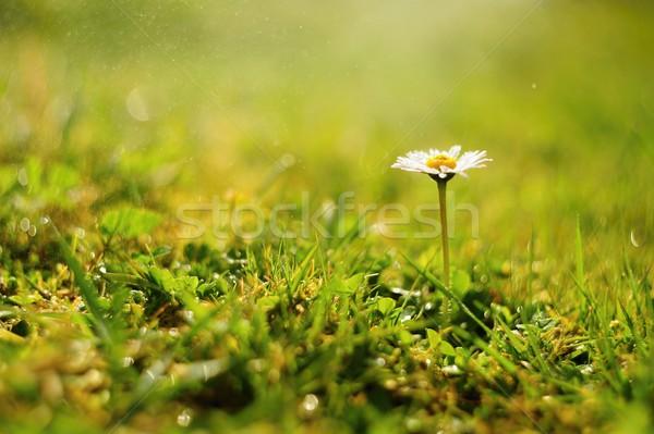 Gänseblümchen Morgen dew Detail schönen Blume Stock foto © ondrej83