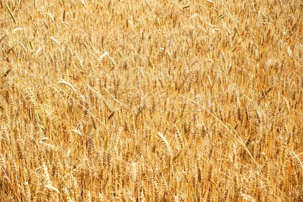 Kukoricamező arany kukorica mező érett nyár Stock fotó © ondrej83