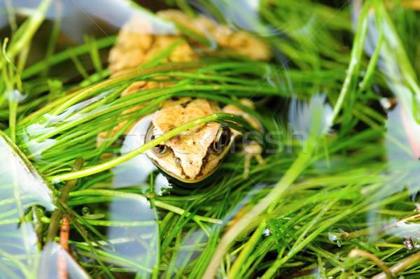 небольшой коричневый лягушка красивой мало природы Сток-фото © ondrej83