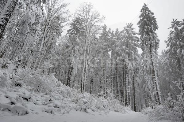 冬 森林 雪 霜 12月 ストックフォト © ondrej83
