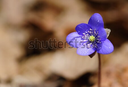Stock photo: Spring flower