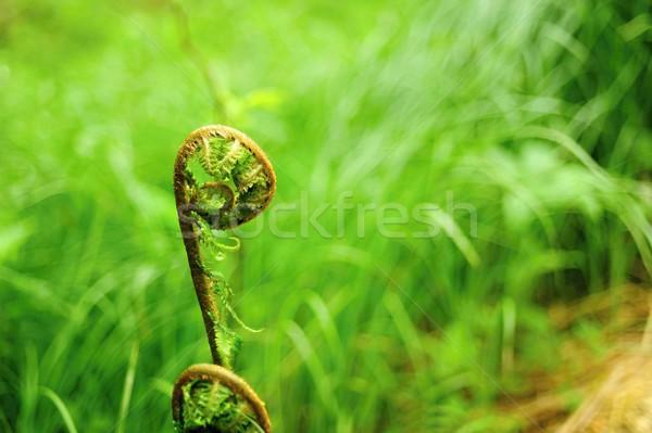 Eğreltiotu orman güzel yeşil öğleden sonra güneş Stok fotoğraf © ondrej83