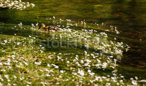 Stock photo: Flowers on the river