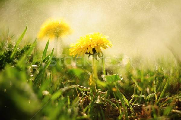 Stock photo: Spring dandelions