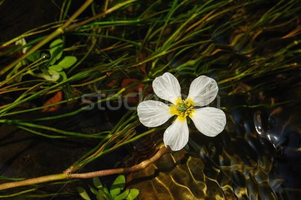 çiçek detay nehir güzel temizlemek Stok fotoğraf © ondrej83