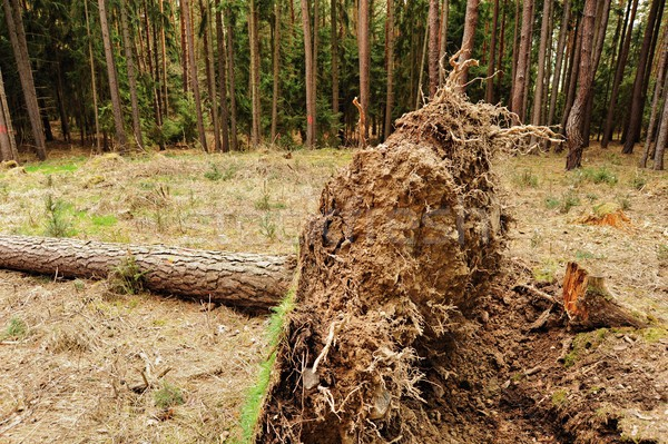 Stock photo: Uprooted tree