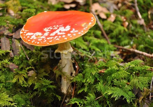 Amanita muscaria Stock photo © ondrej83