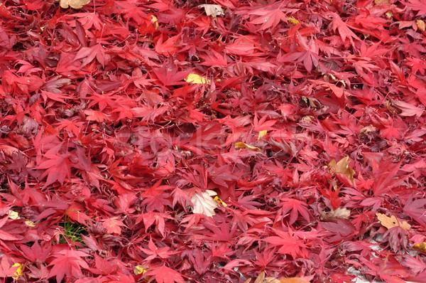 Belle beaucoup rouge arbre forêt Photo stock © ondrej83