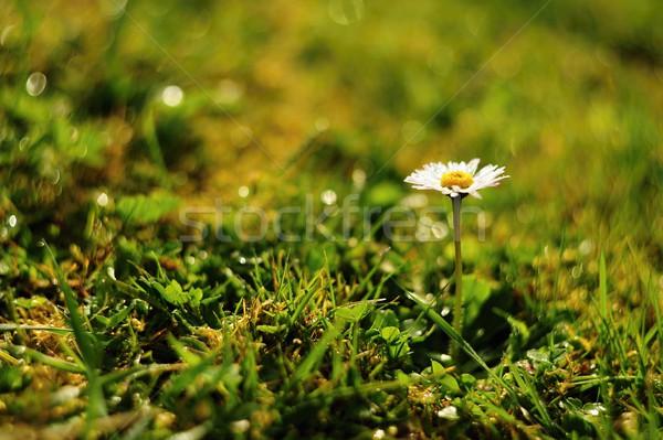 デイジーチェーン 午前 露 詳細 美しい 花 ストックフォト © ondrej83