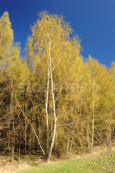 красивой весны пейзаж лес луговой Blue Sky Сток-фото © ondrej83