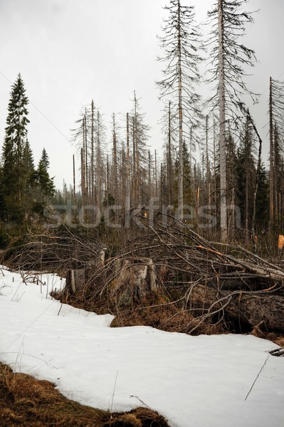 Snow blizzard in the forest Stock photo © ondrej83