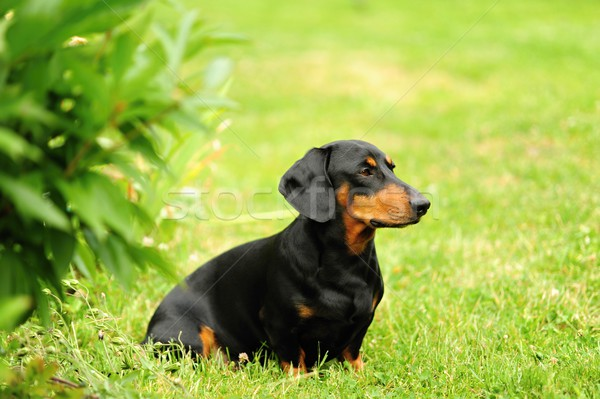 A small black dachshund Stock photo © ondrej83