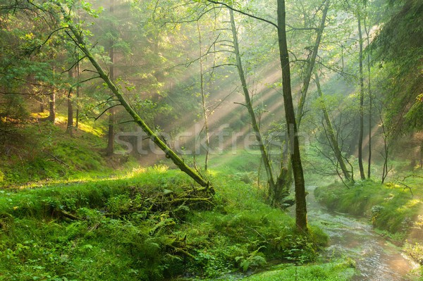 Sun rays in the woods Stock photo © ondrej83