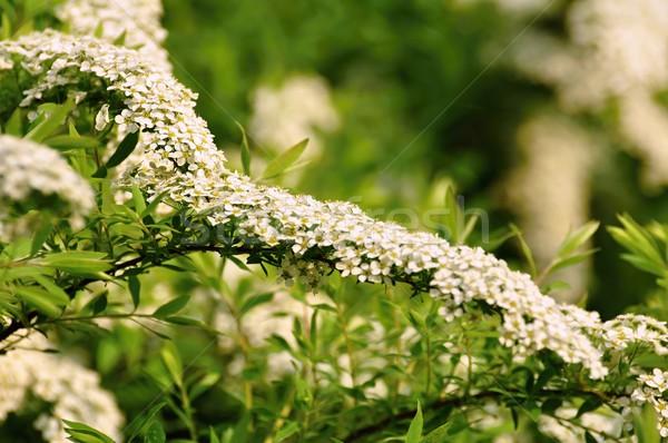 茂み 白い花 低木 ぼやけた 花 ストックフォト © ondrej83