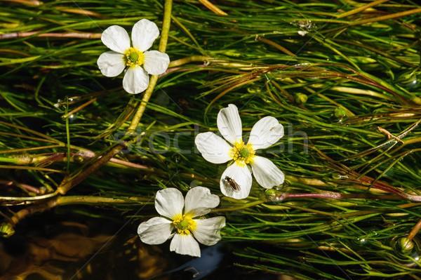 花 詳細 川 白い花 美しい クリーン ストックフォト © ondrej83