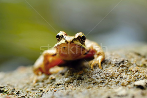 Small brown frog Stock photo © ondrej83