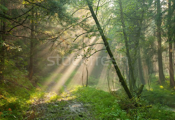 太陽 日光 森 日照 霧 ストックフォト © ondrej83