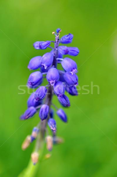 синий цветок весны расплывчатый зеленый цветок трава Сток-фото © ondrej83
