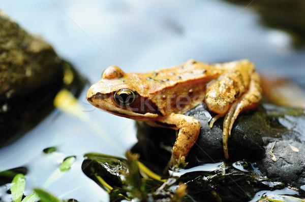 Faible brun grenouille belle peu oeil Photo stock © ondrej83