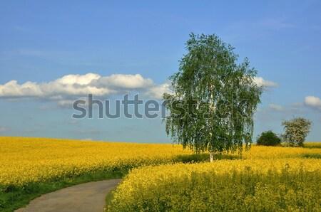 Nyírfa tavasz mező virág fa fű Stock fotó © ondrej83