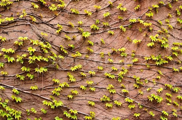 Muur klimop oranje groene vers bladeren Stockfoto © ondrej83