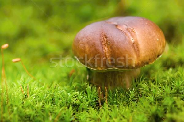 Stockfoto: Paddestoel · klein · bruin · groeiend · najaar · groene