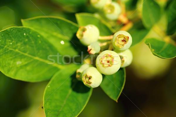 Unripe blueberries Stock photo © ondrej83