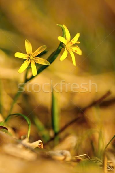 Fraîches fleurs du printemps belle herbe soleil fleur Photo stock © ondrej83