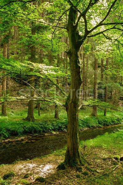 Stock photo: Beautiful and clean river Kamenice flowing through the woods and rocks
