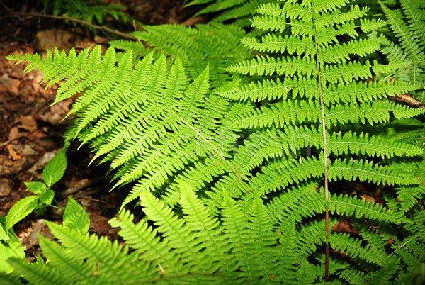 Fern in the forest Stock photo © ondrej83