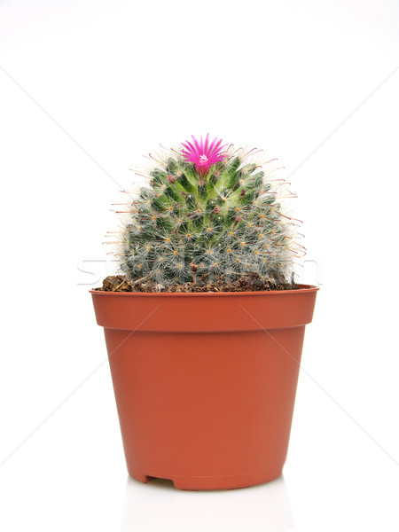 Blossoming cactus in a pot Stock photo © oneo