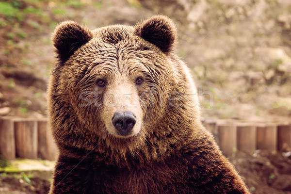 Ours vue ours brun animaux roches Photo stock © oorka