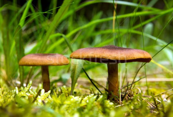 Champignons wild groeiend bos gras champignon Stockfoto © oorka