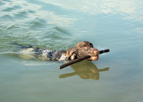 короткие волосы Stick воды собака озеро подготовки Сток-фото © oorka