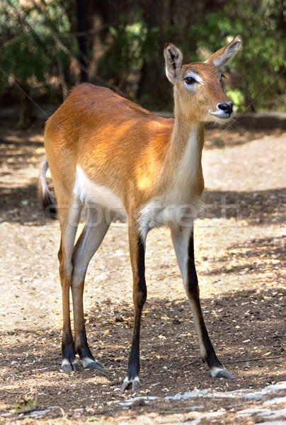 Red deer hind Stock photo © oorka