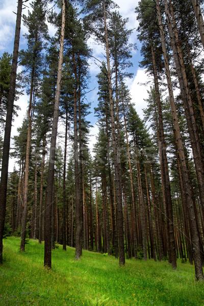 Erdő fenyőfa hegy fák nyár levelek Stock fotó © oorka