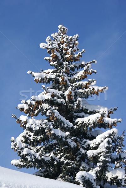 сосна покрытый снега пейзаж деревья горные Сток-фото © oorka